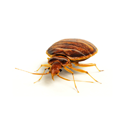 bed-bug-control