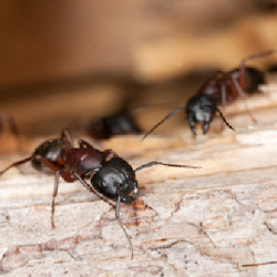 carpenter-ant-control